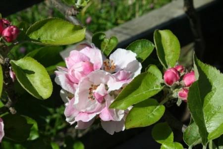Apple blossom time at Dunbar's Close Garden